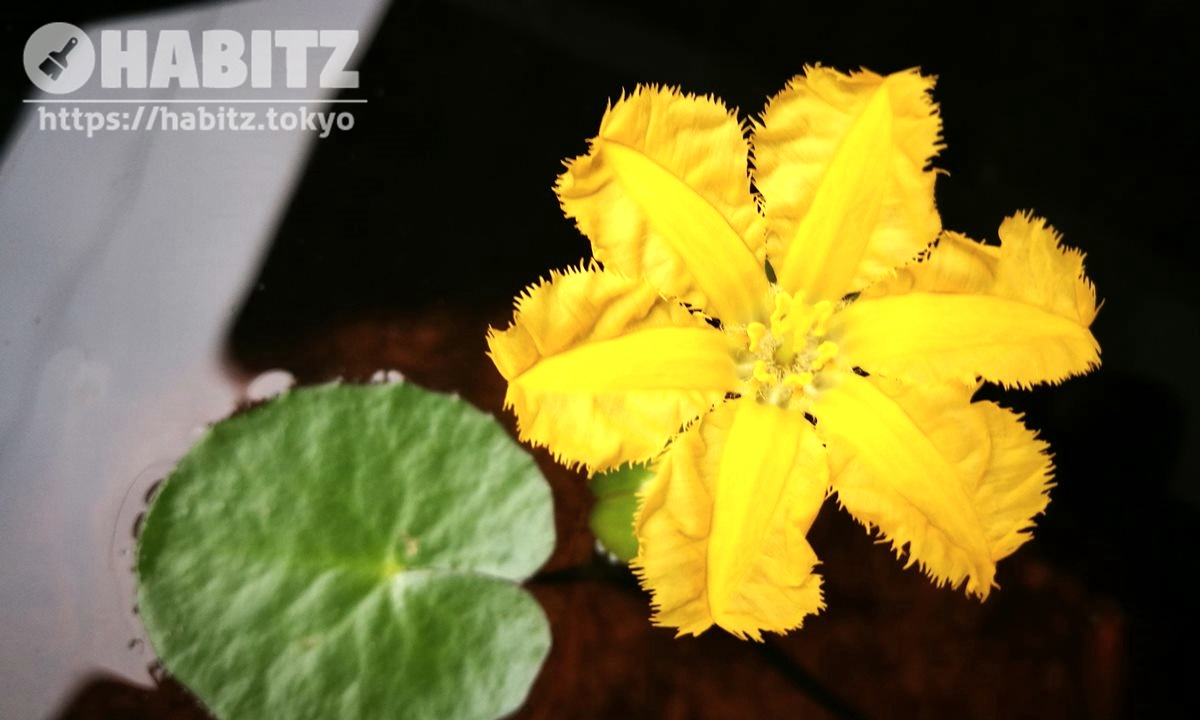 アサザの花